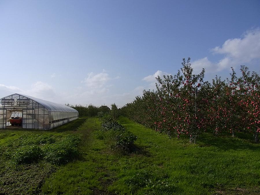りんご画像1