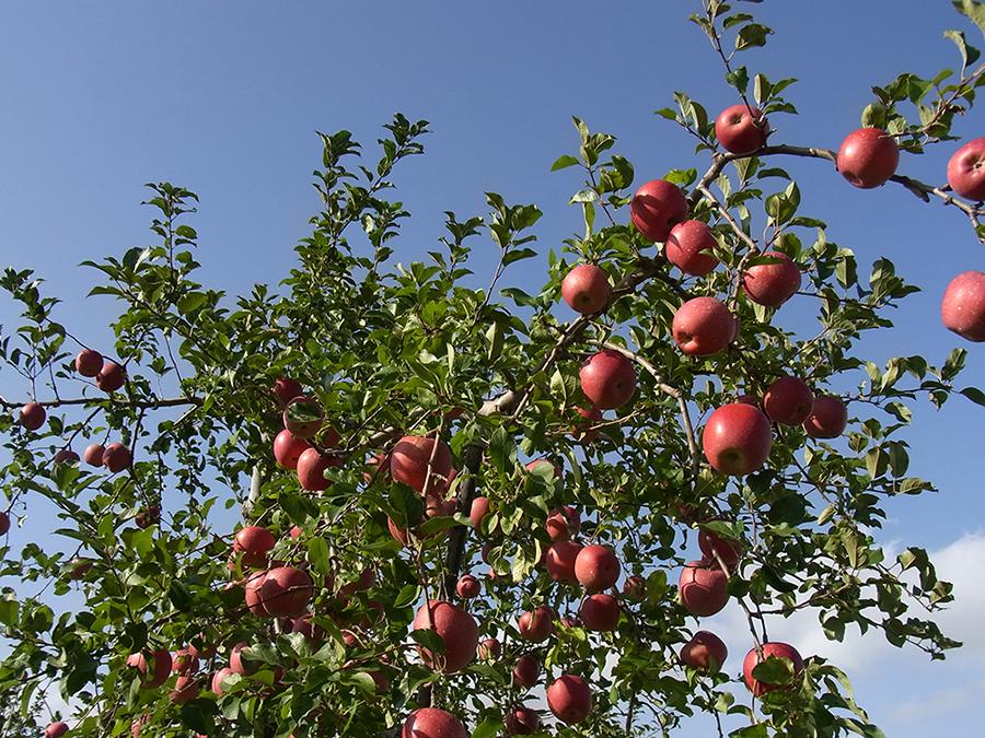 りんご画像6